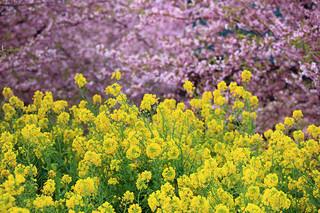 field-mustard_3