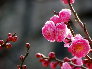 apricot-blossom_2