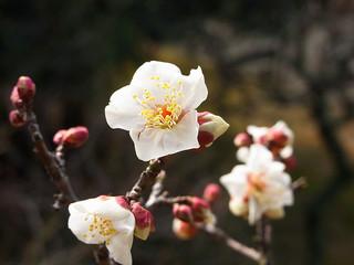 apricot-blossom_3
