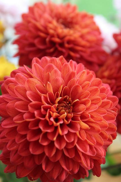 chrysanthemum-red