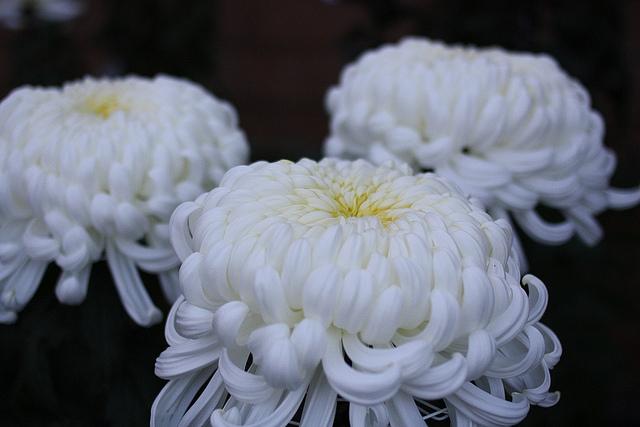 chrysanthemum-white
