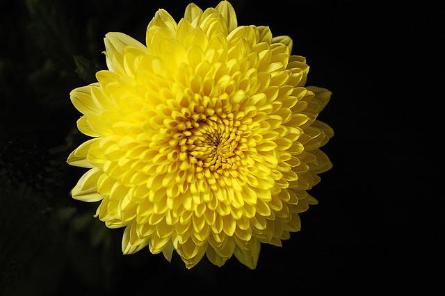 chrysanthemum-yellow